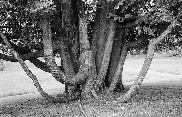Old Tree, Pettengill Farm, Freeport