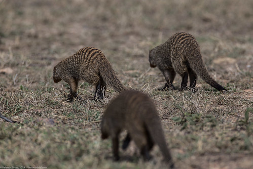 manguste Serengeti sep18_05_med   by Valentin Groza
