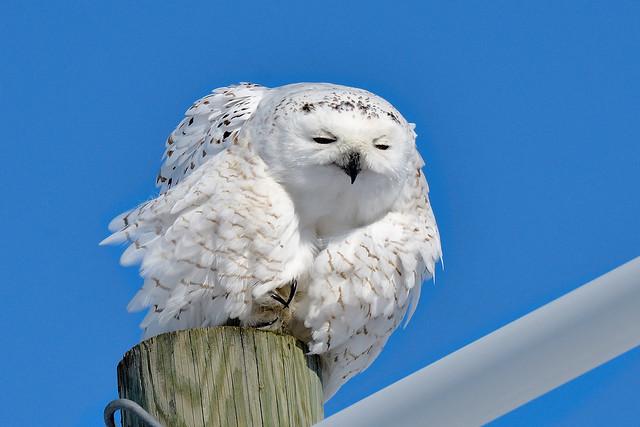 Ookpik -----   Harfang des neiges ----- Snowy owl ----- Búho del Ártico