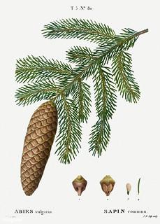 Norway spruce (Abies vulgaris) illustration from Traité des Arb