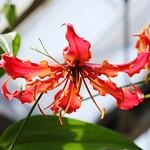 Gloriosa rothschildiana  グロリオサ・ロスチャイルディアナ