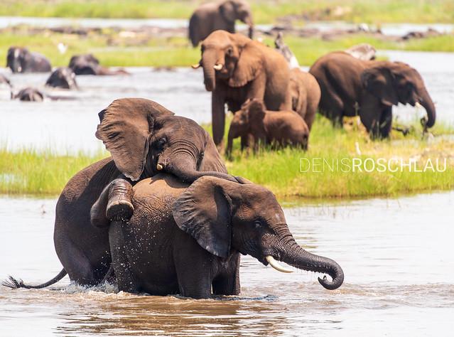 Playful Zambezi Elephants