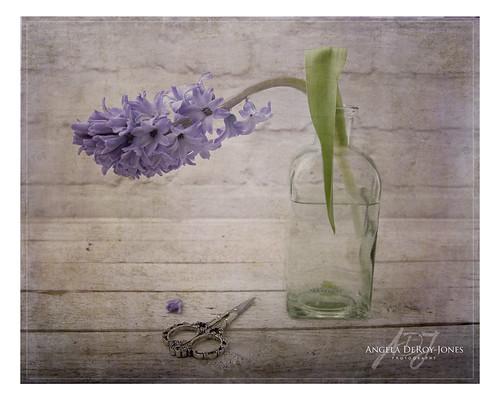 Drooping Hyacinth