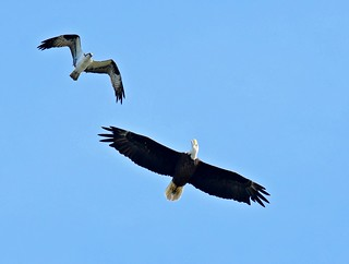 An osprey chasing an eagle. | by dina j