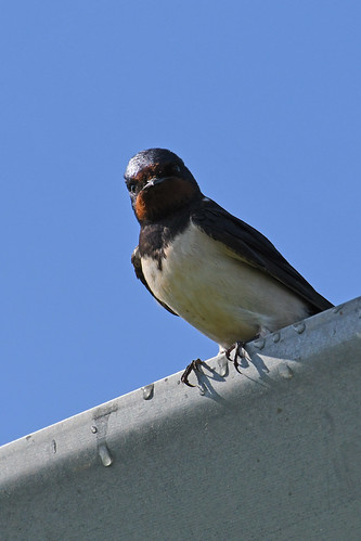 Barn Swallow (Hirundo rustica) | by Brian Carruthers-Dublin-Eire