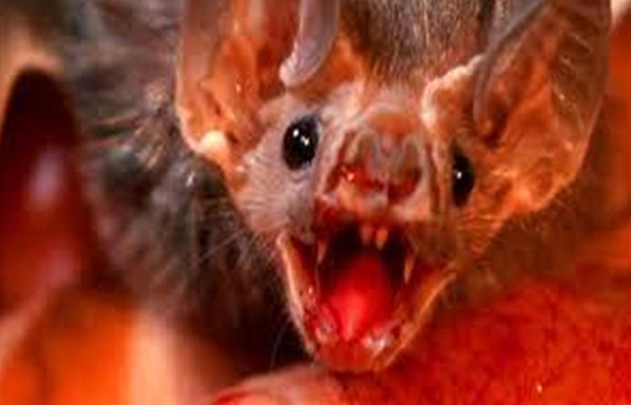पिशाच चमगादड़ के खून पीने हेतु विशेष दांत व नुकीली जीभ