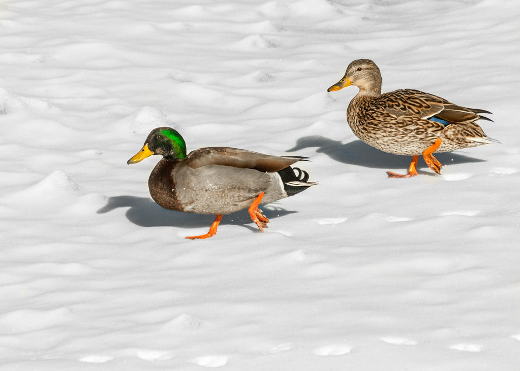 Image result for two ducks
