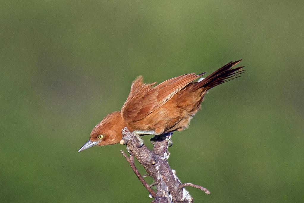 casaca-de-couro (Pseudoseisura cristata) (Spix, 1824) Nome em Inglês Caatinga Cacholote