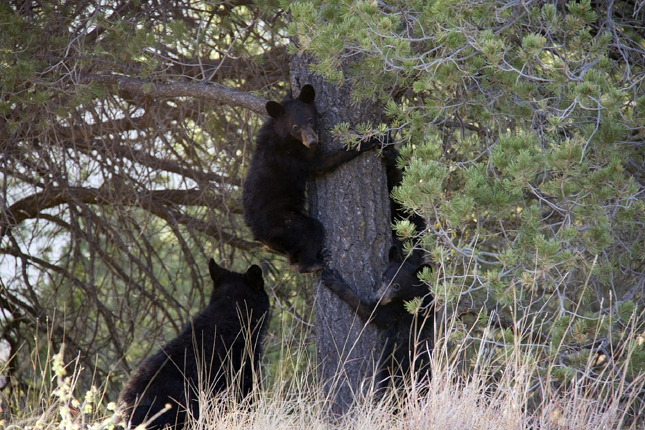 photo of black bears in texas