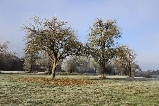 frosty appeltrees  IMG_3826