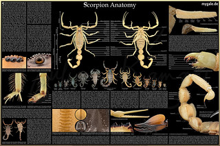 The Scorpion Anatomy Poster 2018 | by mygale.de
