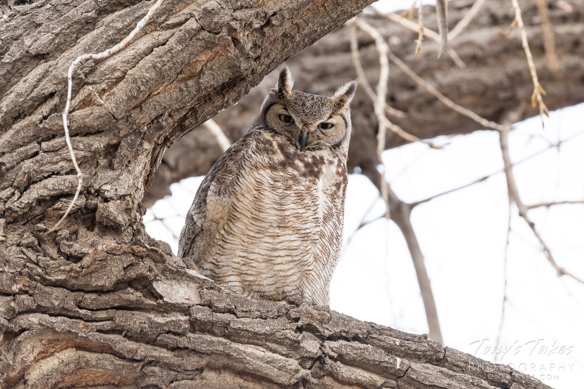 A great horned owl awakes briefly from its nap. (© Tony's Takes)