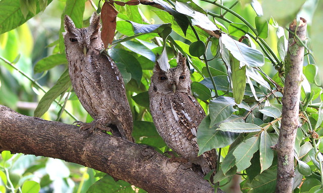*** Pacific Screech Owl / Petit duc de Cooper