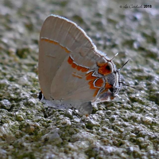 Calycopis sp. ?