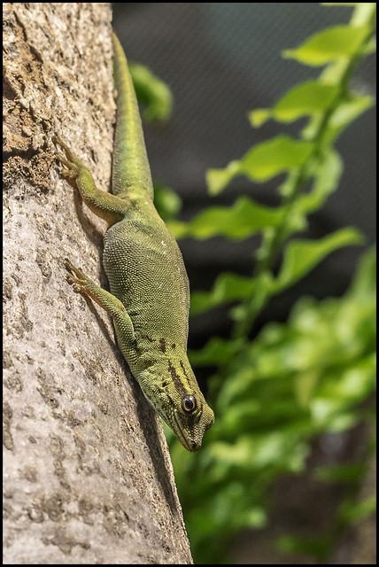 Turquoise Dwarf Gecko (Female)
