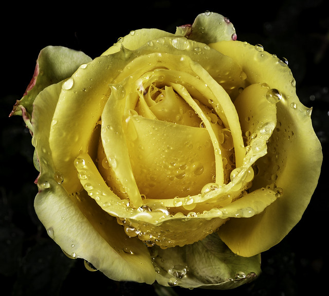 Yellow Rose Covered With Rain Drops