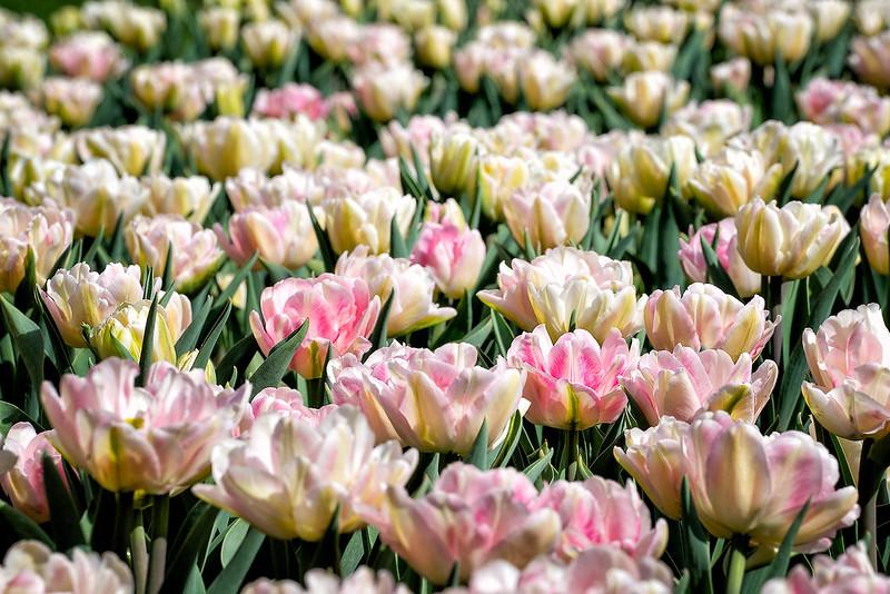 Обои тюльпаны, бутоны, много картинки на рабочий стол, раздел цветы - скачать