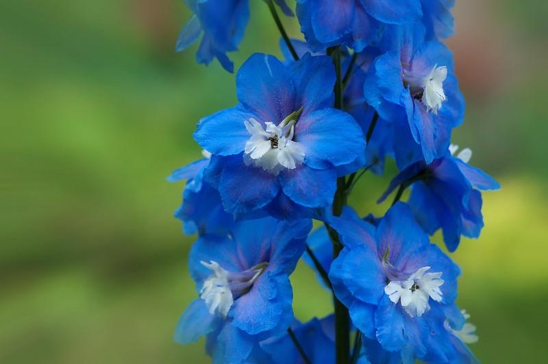 Обои макро, синий, дельфиниум картинки на рабочий стол, раздел цветы - скачать