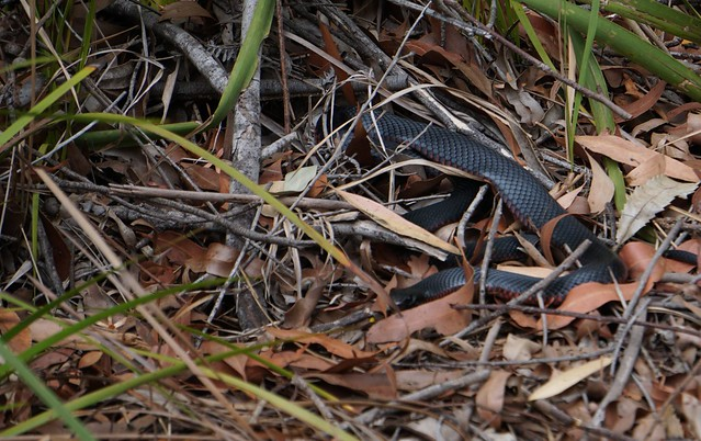 Young black snake beside the track.