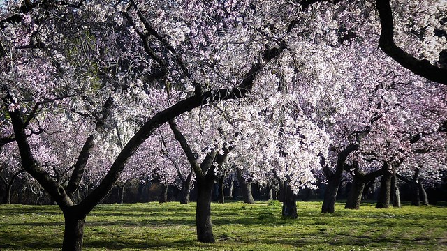 Almonds trees, Madrid