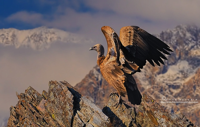 Himalayan Griffon Vulture.