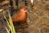 A ruddy-breasted crake having a bath by takashi muramatsu
