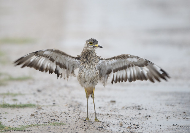 Spotted Thick-knee, Burhinus capensis, Hwange National Park, Zimbabwe