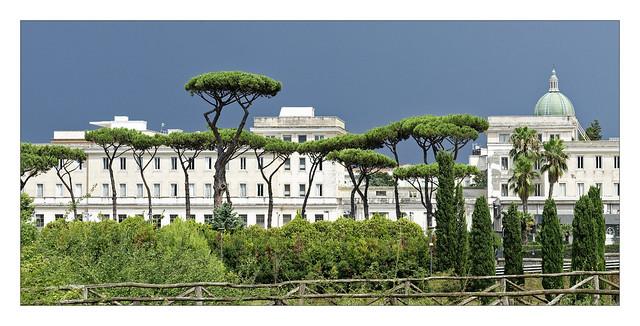 The umbrella pines