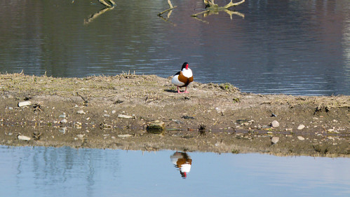 Shelduck reflected, Doxey