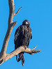 Wedge-tailed Eagle (Aquila audax) by David Cook Wildlife Photography