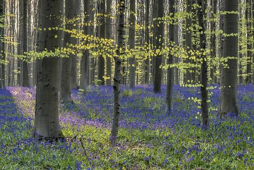 albertwirtz wald forest bluebells nature natur natura spring frühling backlight gegenlicht beechtree buchenwald buche tree baum hallerbos nikon d810 landscape paesaggi campo campagne campagna paisaje landschaft benelux belgien halle vlasmarktdreef wauthierbraine brabant wallonie wallonischbrabant europe europa eikendreef blau waldhyazinthen hyazinthe wildehyazinthen blauviolett purpleblue hasenglöckchen sunnymorning springmorning morningmood enchanted enchanting enchantednature enchantedforest