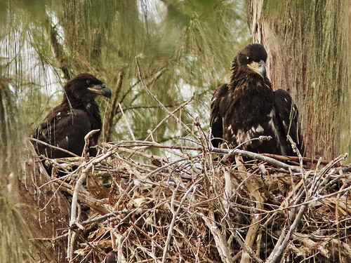 Bald Eaglets male and female P Piney 22 and 21 03-20190316
