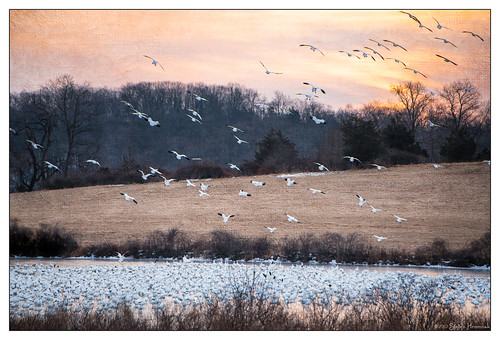 snowgeese snow geese flock uppermountbethel texture lenabemanna sunrise morning