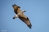 Aguila pescadora (Pandion haliaetus)