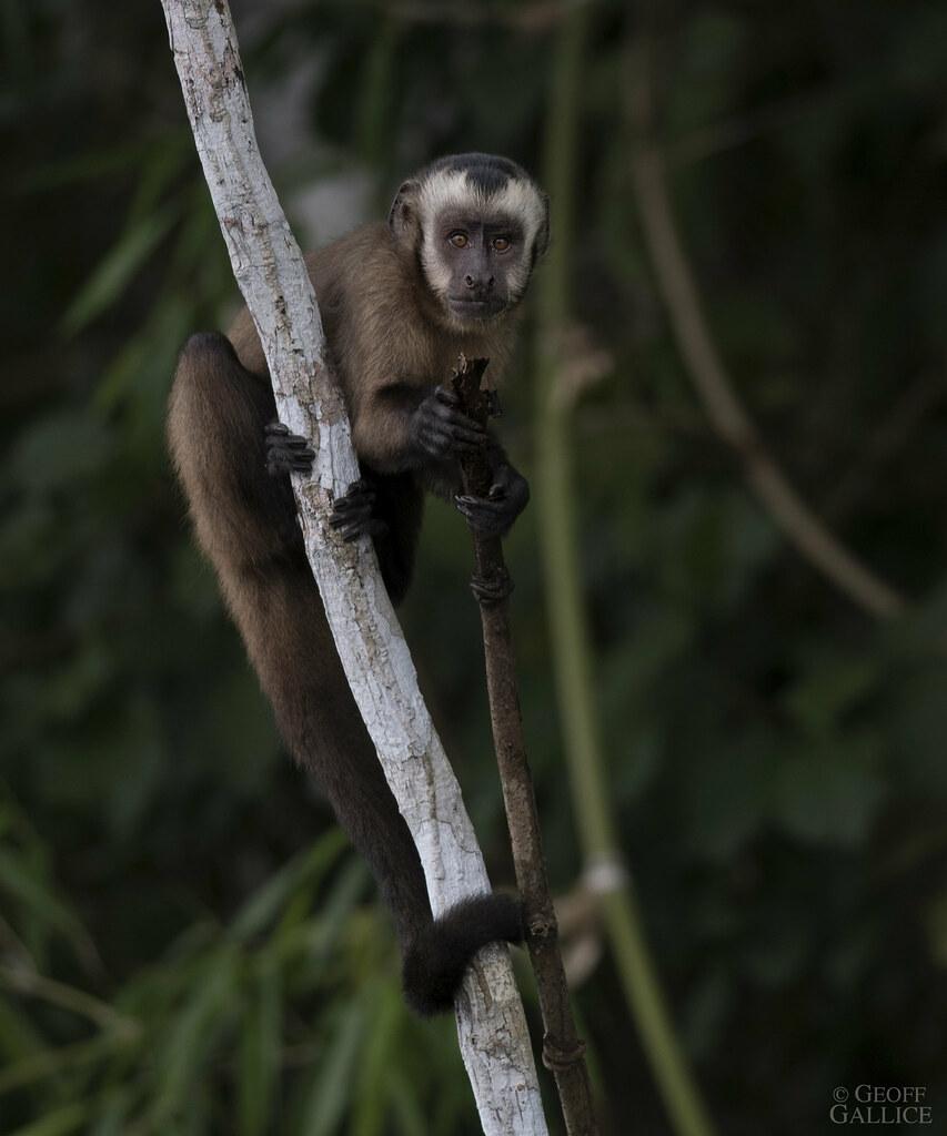 Capuchin monkey (Sapajus macrocephalus)