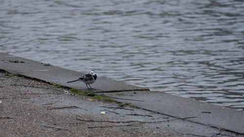 Wagtail at water's edge