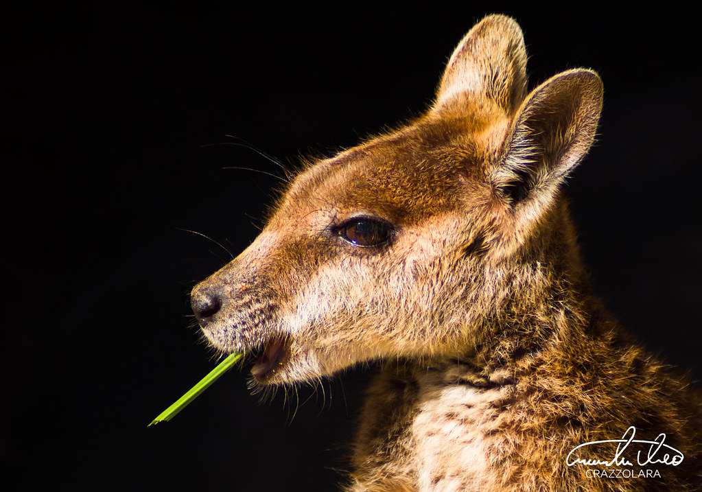 Cute Rock Wallaby