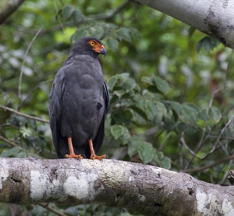 Slate-colored Hawk, Leucopternis schistaceus Ascanio_Peruvian Amazon 199A6377
