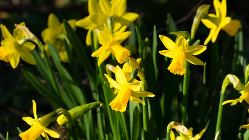 Spring coming, narcissi