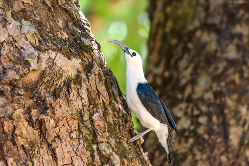 Sickle-billed Vanga (Falculea palliata) | by Allan Hopkins