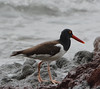 American Oystercatcher by NP Rothman