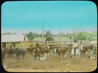 Stockman on a horse amongst penned cattle, Queensland, ca. 1910
