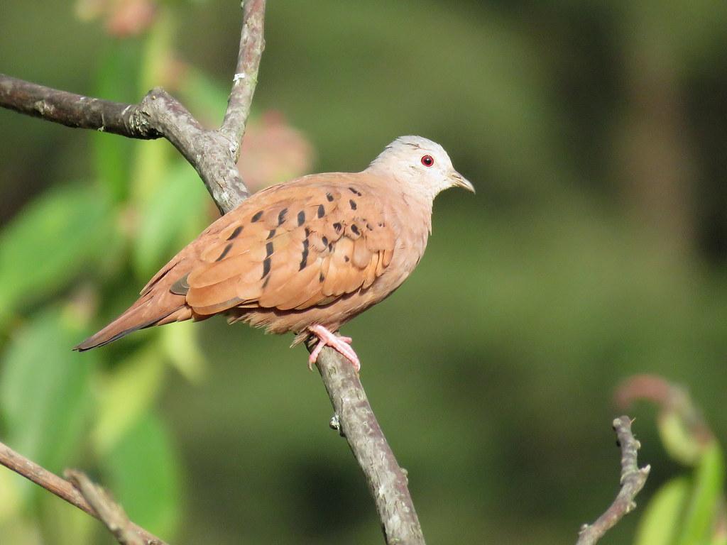 Tortolita Rojiza, Ruddy Ground-Dove, Columbina talpacoti