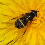 Breitband-Waldschwebfliege (Dasysyrphus tricinctus) im NSG Kirchheller Heide