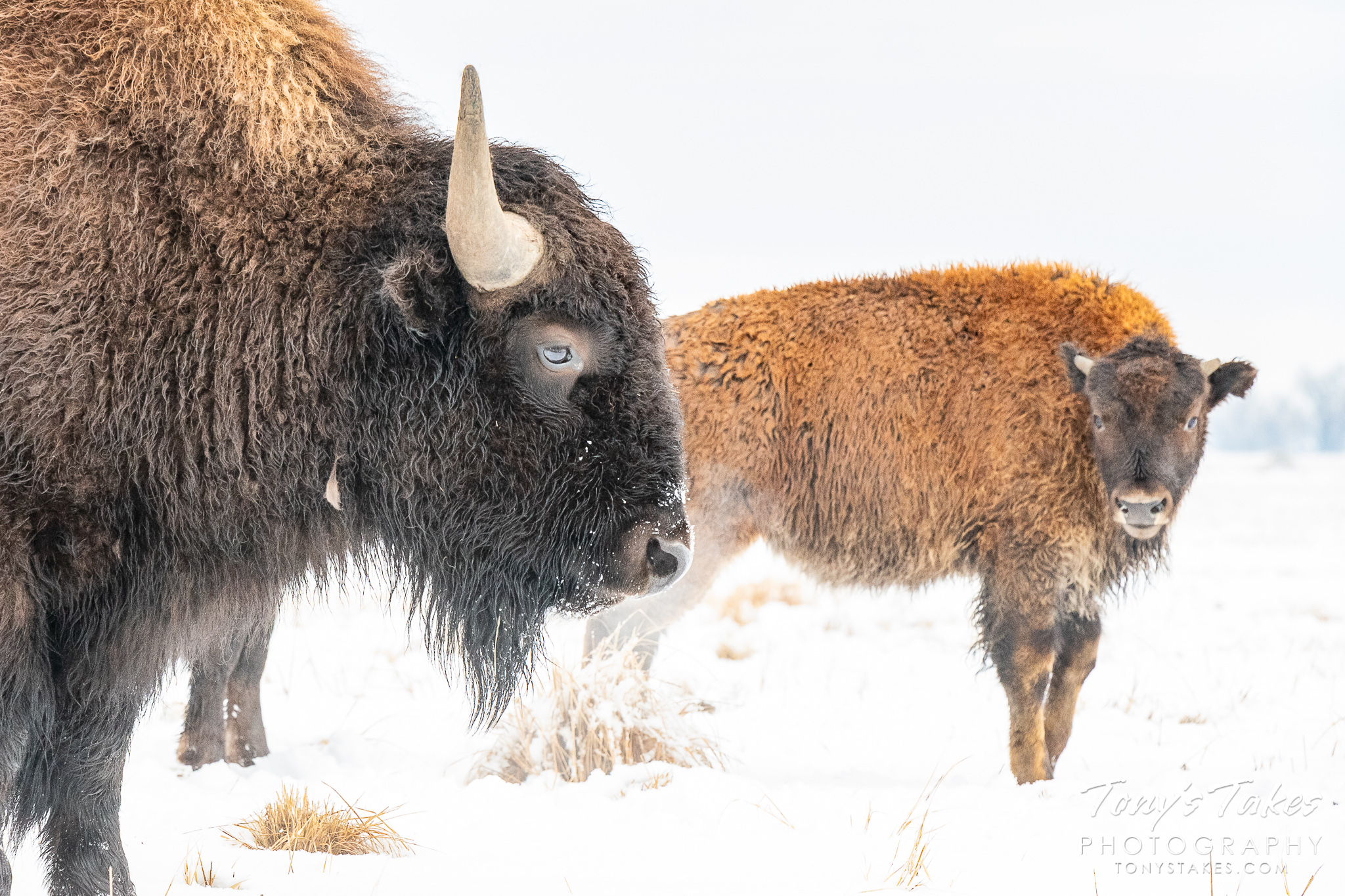 A bison bull and calf pose on a snowy Colorado morning. (© Tony's Takes)