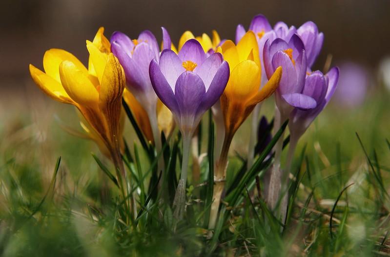 Обои весна, крокусы, боке, шафран картинки на рабочий стол, раздел цветы - скачать
