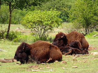 Bison Family | by MarkusR.