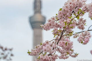 Sakura-Sumida-Park-Tokio-50   by luisete