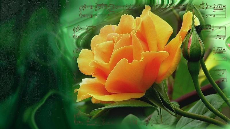 Обои цветок, лето, природа, настроение, роза, розы, красота, rose, flower, красивые, flowers, beautiful, beauty, harmony, cool, bouquet картинки на рабочий стол, раздел цветы - скачать