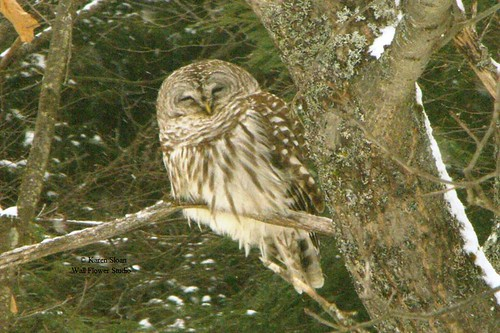 Barred Owl, smiling for the camera.   by Karen @ Wall Flower Studio